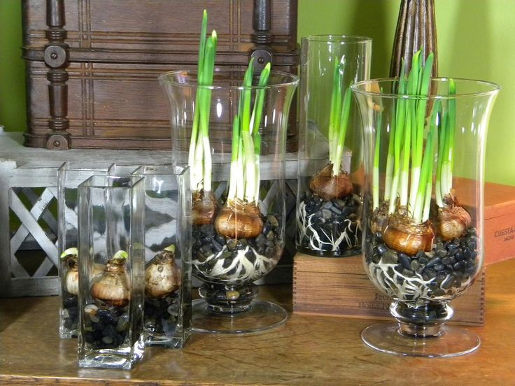 these are a great forced bulb....i prefer tall vases with cool glass stones....