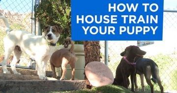 Dog Behavior | Cesars Way - In nature, a pup's mother will quickly teach them not to soil the den. In the human world, we need to take on that challenge if we want to have a happy relationship. In this exclusive video, Andre Millan drops in on Dog Psychology Center trainer Todd Langston for the inside scoop on getting your puppy to do his business outside and the secrets on how to potty train a puppy. Watch now!