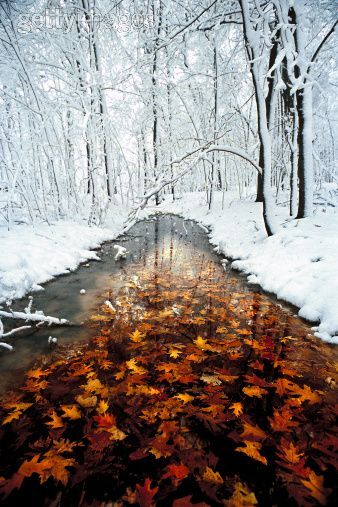 Oak (Quercus sp) leaves in stream with snowy forest, Minnesota: