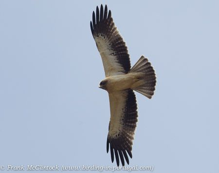 Light phase Booted Eagle