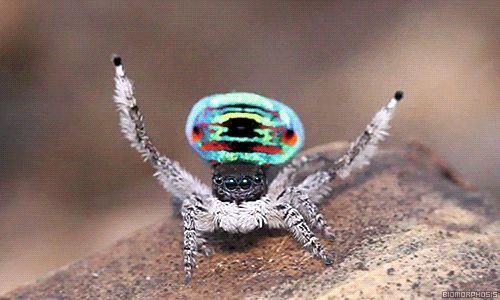 """La araña Maratus volans, también conocida como """"araña pavo real"""", es una especie endémica de Australia que pertenece a la familia de las Salticidae (arañas saltadoras). El color brillante no es sólo para la decoración, sino también para atraer a las hembras. La araña pavo real ha ganado su nombre porque cuando corteja con su compañera lo hace a través de un peculiar baile. Como un pavo real, levanta sus dos aletas de colores magníficos y baila para la hembra."""