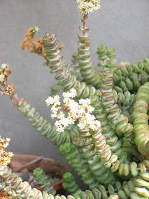 Esta es una de mis plantas preferidas, ahora me esta regalando unas bellas flores otoñales! Excelente planta suculenta de tenden...