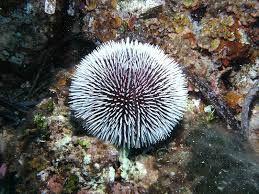 Afbeeldingsresultaat voor zee-egel