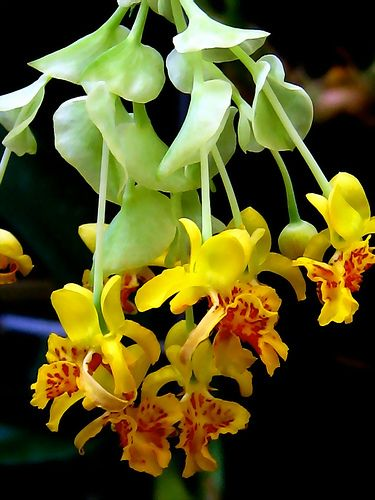 Lockhartia micrantha, by nobuflickr, via Flickr...looks like they are upside down