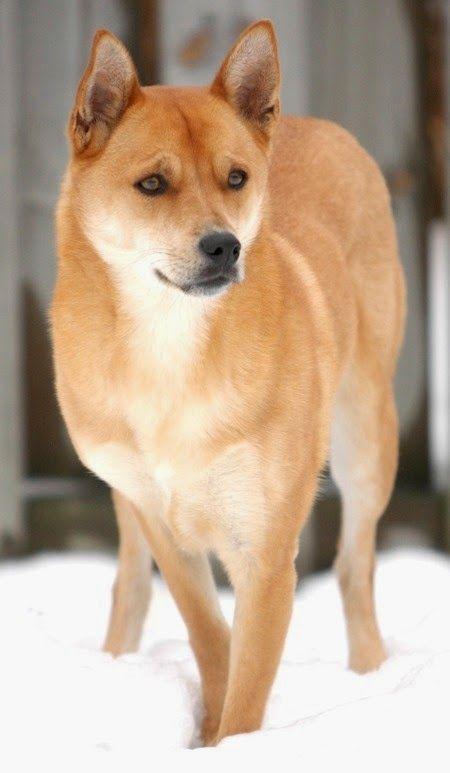 t       Raza # 10:    Carolina Dog Este perro no parece muy fuera de lo común, pero lo que lo hace único, no radica en su aspecto físico, pero su ADN. Como resultado, el perro de Carolina puede ser la especie canina más antiguas de América del Norte,