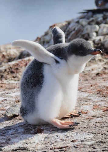 Gentoo Penguin. (KO) Sorry junior, you're never gonna get it off the ground.   Its soooooooo cute!!!