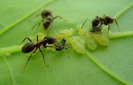 Mieren beschermen bladluizen tegen vijanden en krijgen een zoete honingdauw als beloning.