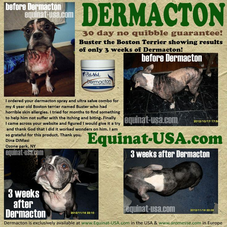 Buster The Boston Terrier Makes Wonderful Progress In Just 3 Weeks Of Dermacton Treatment Seasonal Foster Animalsitchy Dognatural