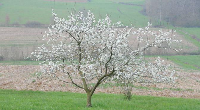 Prunus Domestica Reine Claude Verte - Pruimenboom http://pratec.nl/product-categorie/bomen/?filtering=1&filter_latijnse-naam=247 Het zijn ronde, geelgroene tot paarse zoete vruchten, zeer smakelijk met een karakteristiek aroma.