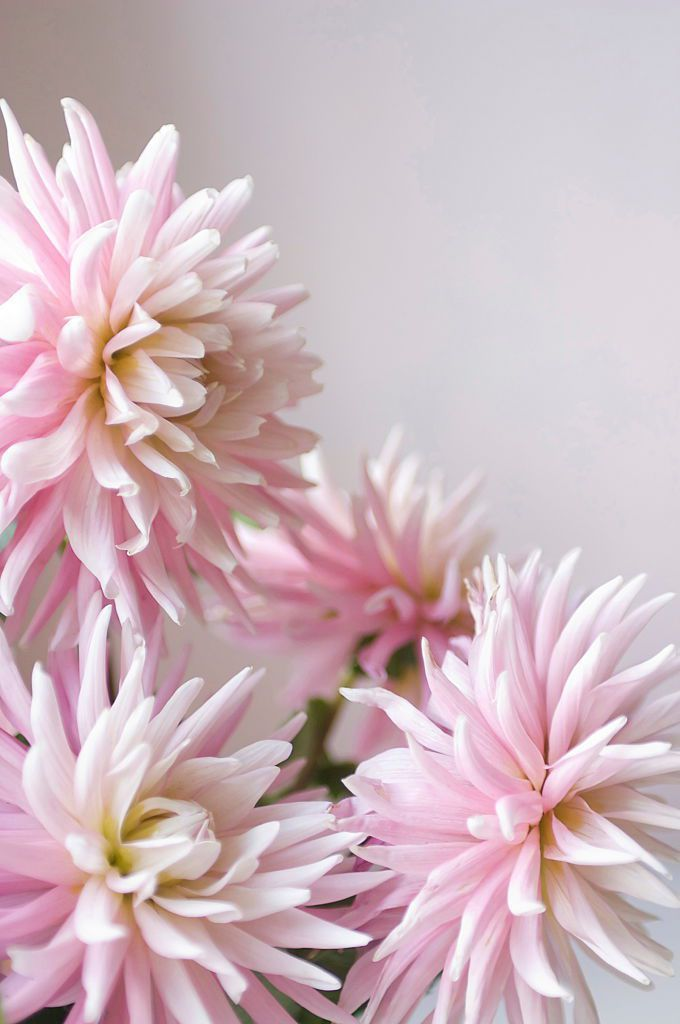 Dahlia Townandcountrymag Com Dahlia Flower Flower Meanings Summer Flowers
