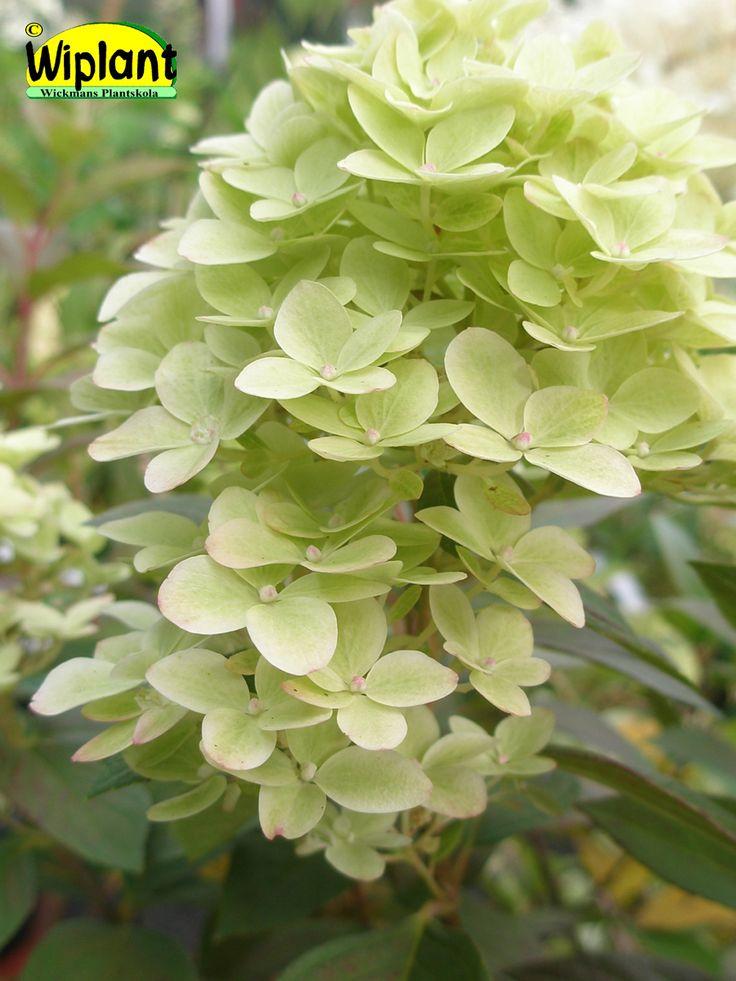 Hydrangea pan. 'Phantom', Syrenhortensia. Vackra vita blommor.  Mycket stora blomklasar.  Bör beskäras.   Höjd: 1-1,5 m.  Surjordsväxt pH 4-5.