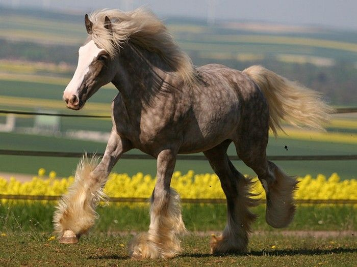 clydesdales and draft horses