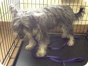 PAGE NO LONGER AVAILABLE - Washington, DC - Washington Humane Society,  Miniature Schnauzer Mix. Meet Sapphire, a dog for adoption. http://www.adoptapet.com/pet/10854379-washington-dc-miniature-schnauzer-mix