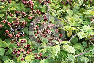 Blackberry bushes with red and black blackberries