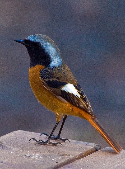 Daurian Redstart In Winter. Old World flycatcher family - common in east Asia