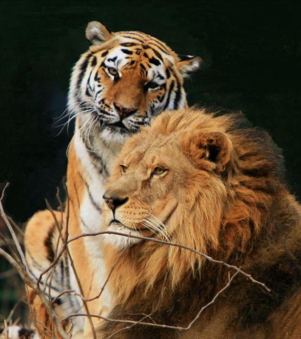 Картинки, открытки львы и тигры