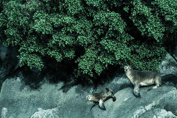 #wildlifepatagonia sea lion by pato blanche, via Behance | https://www.patoblanche.tumblr.com