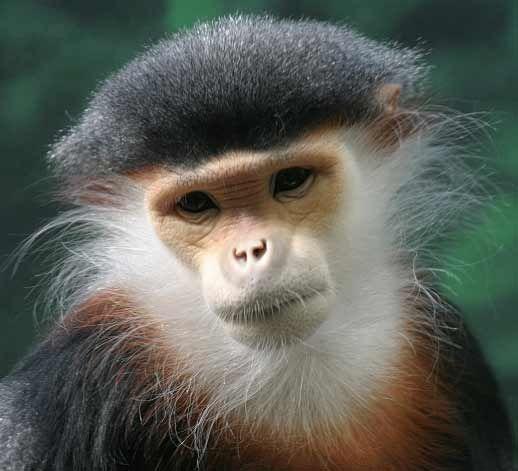 Douc Langur Monkey