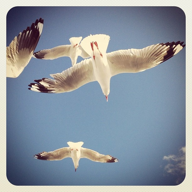 Seagulls soaring on the Bondi breeze this afternoon #seagulls #atbondi #bondi #birds #soaring #sydney