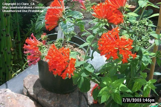 Full size picture of Scarlet Bouvardia, Firecracker Bush, Trumpetilla, Hummingbird Flower (Bouvardia ternifolia)