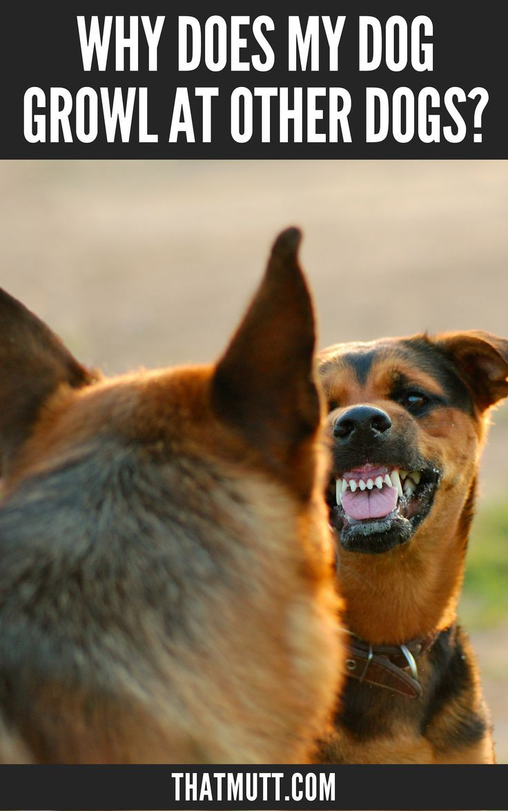My Dog Growls At Other Dogs Dog Growling Aggressive Dog Dog