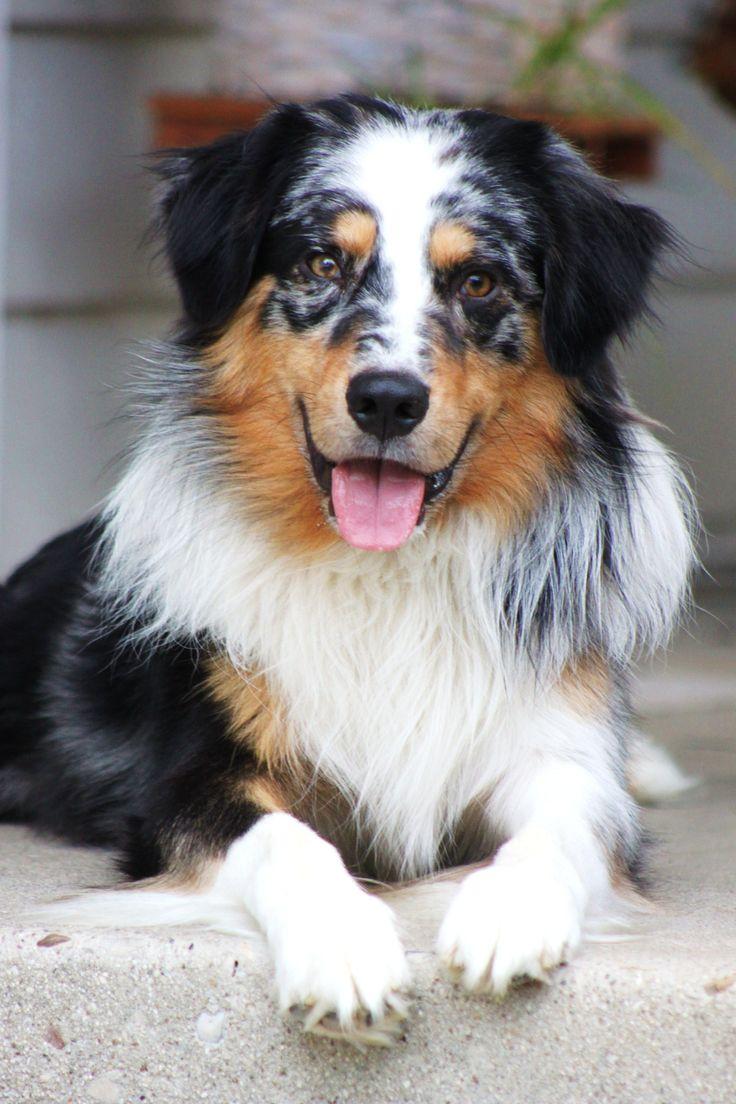 Best 25 Australian shepherd husky ideas on Pinterest