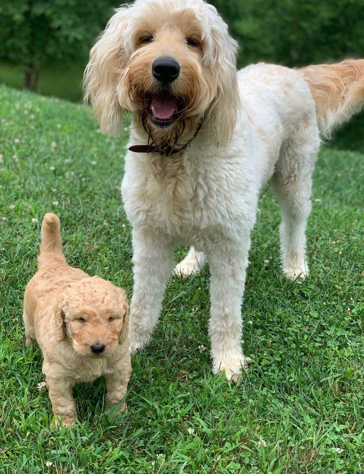 Pin by Clynda Dowd on My goldendoodle Goldendoodle