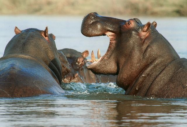hippo-african-safari