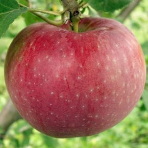 Pommier Trust - Zone 3 - Un pommier sur lequel vous pouvez compter - Le pommier Trust, vous pouvez compter sur lui. Chaque année il produit de beaux fruits sans traitement.