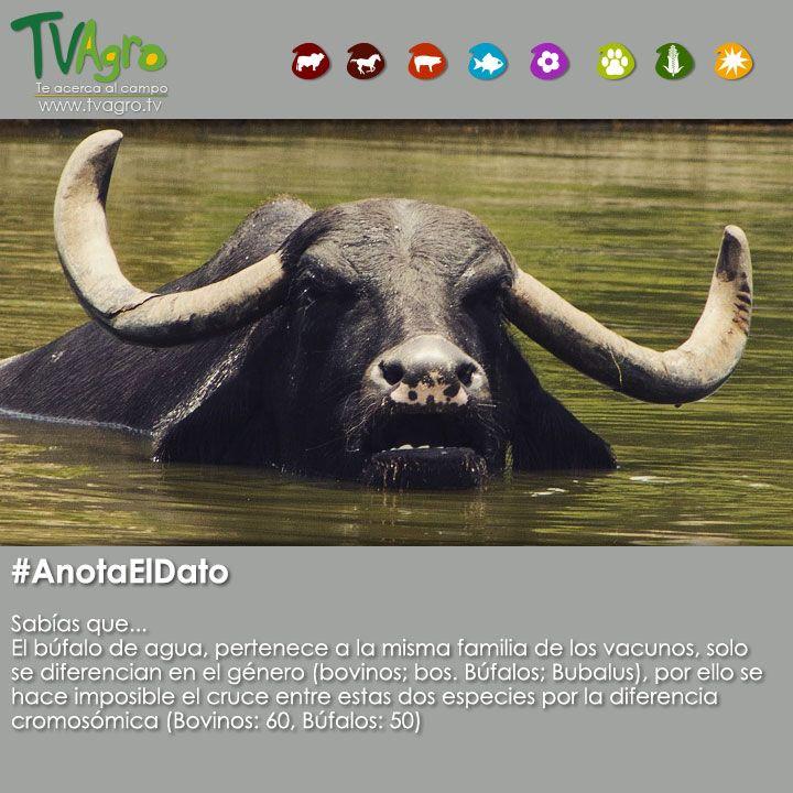 #AnotaElDato El búfalo de agua,tiene parentescos con los vacunos.