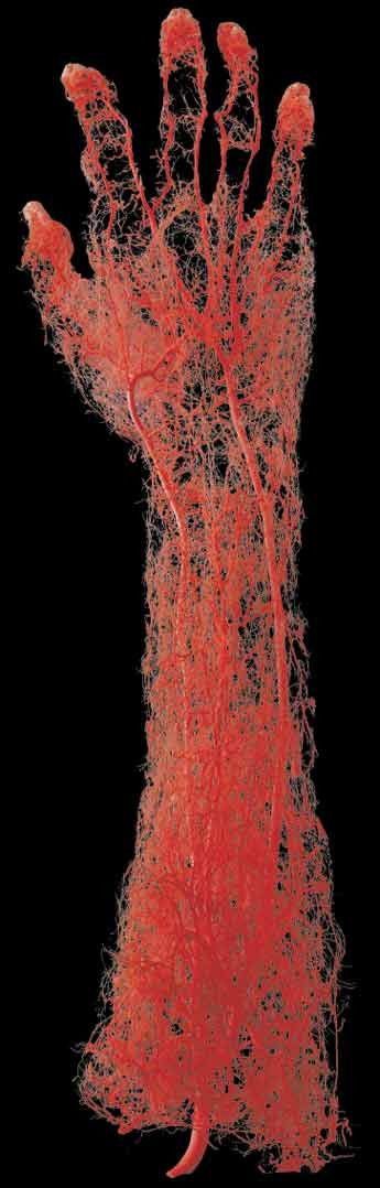 Mapped arteries of an adult human. Gunter Von Hagens