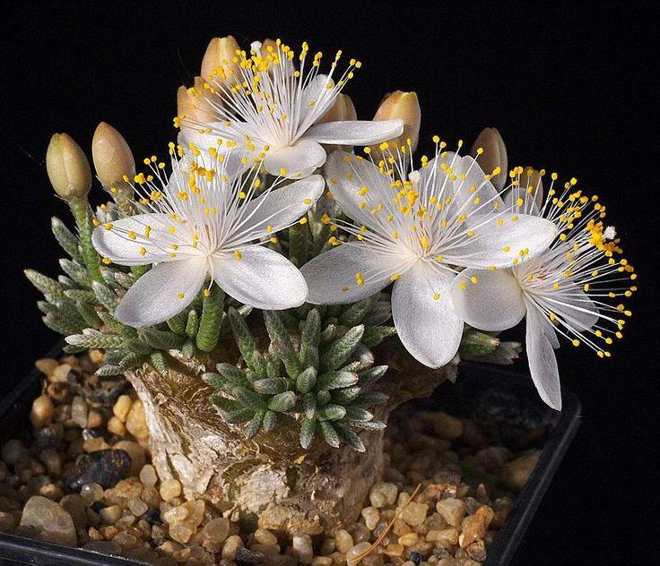 Avonia quinaria - succulent, South Africa. Synonym: Anacampseros quinaria