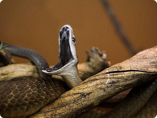 Черная мамба (лат. Dendroaspis polylepis)