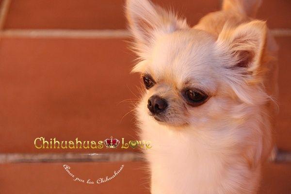 Chihuahuas Love - Chihuahuas de Pelo Largo. Pelo Largo en Chihuahuas.