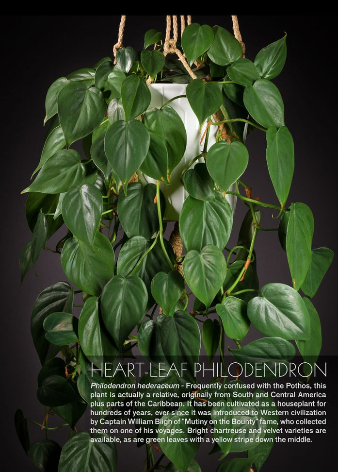 peachy house plants that are safe for cats. Heart leaf philodendron  poisonous to cats tho 156 best Houseplants images on Pinterest Indoor plants
