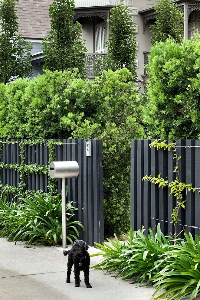 Podocarpus falcatus hedge. Bougainvillea trained to stainless steel wires on custom timber fence. Robert Plumb 'Mrs Kelly' letterbox beside Agapanthus sp.