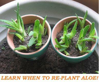 Comment replanter des pousses d'ALOE VERA ? #aloevera #jardinage