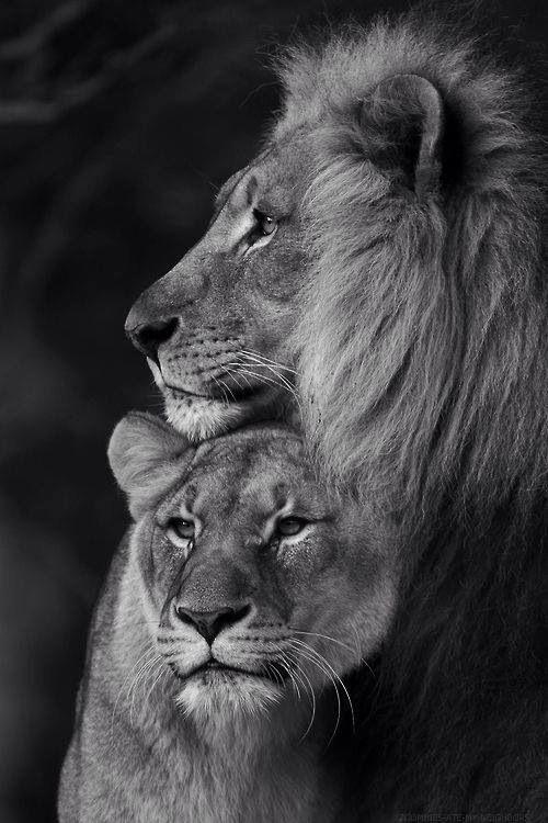 Lion love                                                                                                                                                                                 More