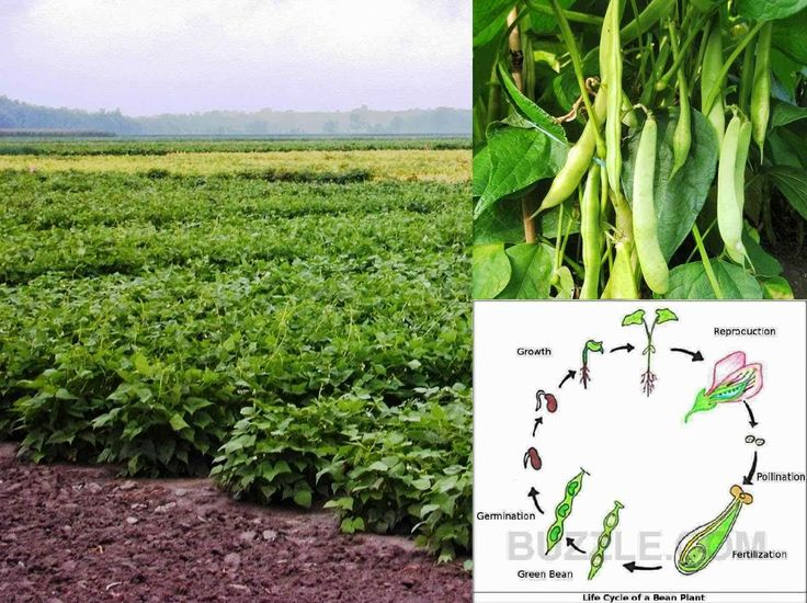 the commercial production of green beans essay Can organic farming feed  , growing beans,  where water availability is limited between periods of crop production, drought-resistant green manures such as.