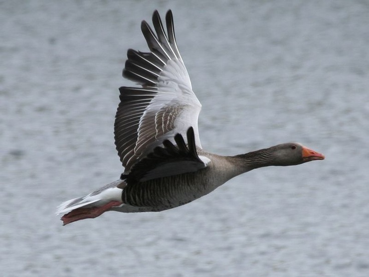 Greylag Goose (Graylag Goose) / Anser anser / Ánsar común (ganso común, oca común) / Ganso-bravo / Oie cendrée / Oca selvatica / Grågås / Gęgawa (gęś gęgawa)