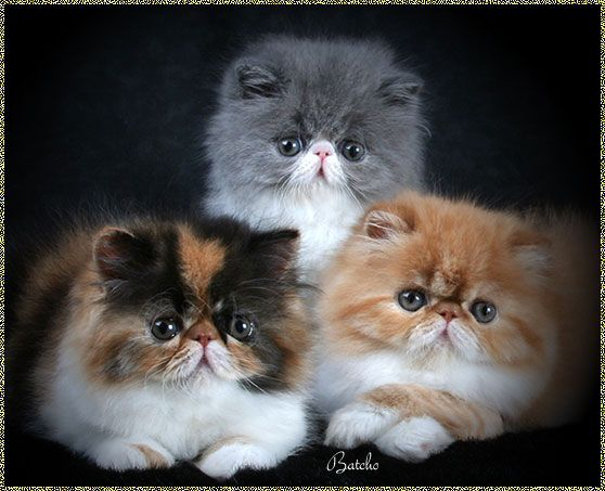 Persian Kittens For Sale - www.batcho.net - Bi-Color Persian Cat Breeder In PA