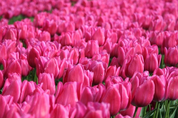 Tulpen velden