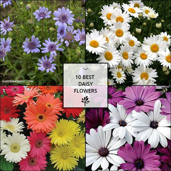 10 Best Daisy Flowers Daisy Flower Flowers Flower Seeds