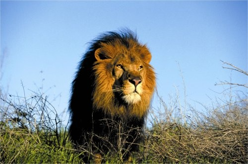 Male Lion | Male Lion at Addo Elephant National Park. |