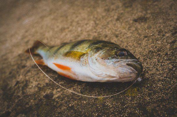 Ловля окуня на спиннинг. Основы джиговой проводки  Ловля окуня на спиннинг, как и любая другая рыбалка, будет зависеть от множества факторов. Если нам удается подобрать ключик, который состоит из множества составляющих, то хороший улов будет обеспечен даже при самых плохих условиях. Одной из главных составляющих в спиннинговой ловле является правильная проводка. Особенно актуален этот момент в джиговой ловле. Если мы зададим приманке правильную игру, то можем уверенно ждать поклевку.  Ловля…