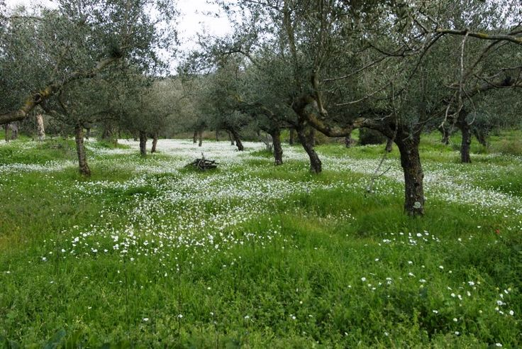 An olive field!