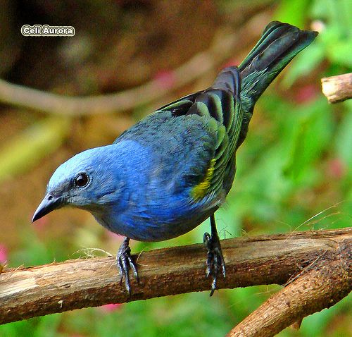 sanhaço-de-encontro-azul=Tangara cianopetra