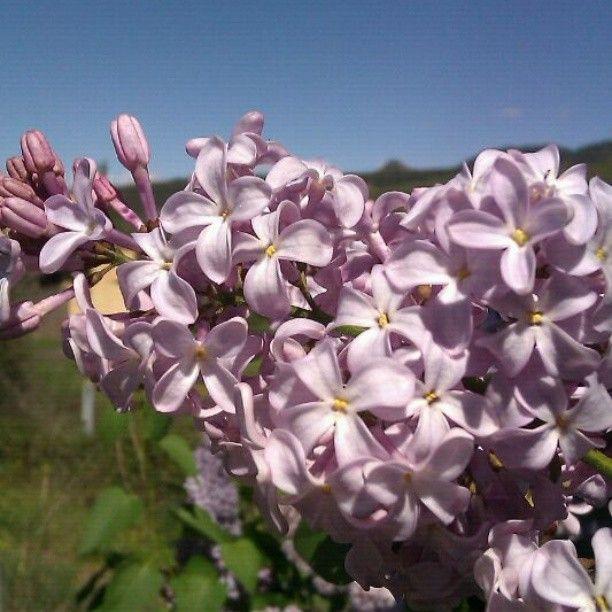 violet #flowers