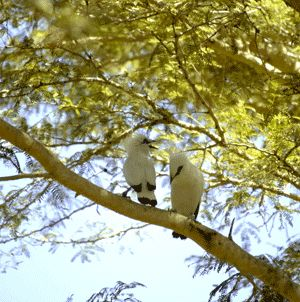 The park is home to more than 160 species, including eagles, owls, sunbirds, kingfishers and swifts. Many are on the endangered species list, such as the rare Rothschild's Myna (or Bali Starling) with its dramatic white feathers and head plume.