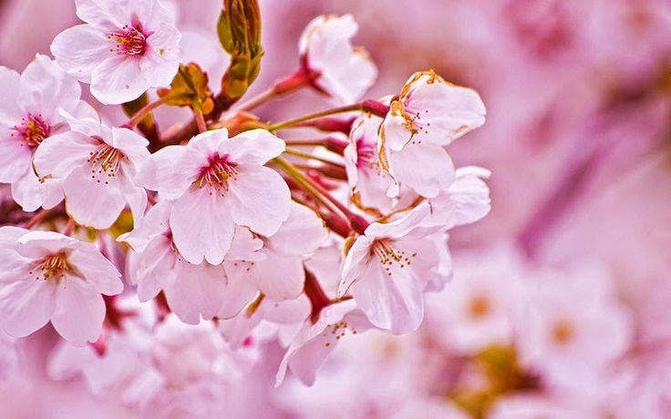 Gambar Wallpaper Bunga Sakura Jepang Cantik | Kata Kata 2015